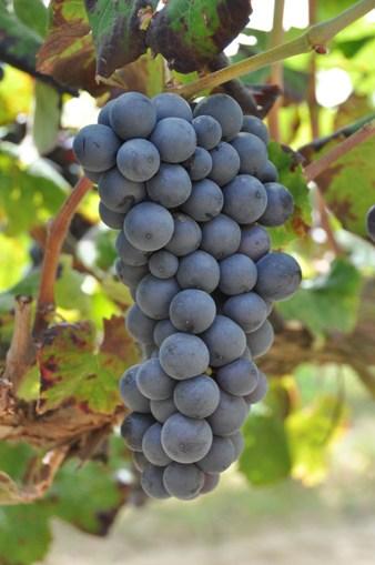 racimo de uva en el momento de la vendimia