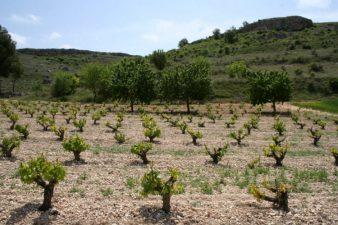 Viñedos de tempranillo en la provincia de Burgos